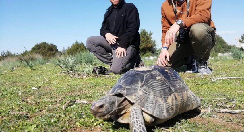 Η φύση δεν μπαίνει σε καραντίνα Δράση παρακολούθησης της κρασπεδωτής χελώνας από τον Φορέα Διαχείρισης