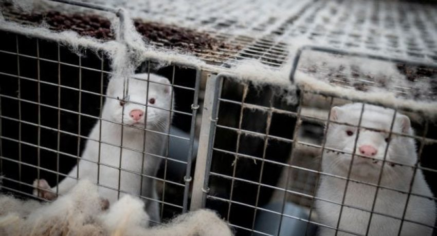 FILE PHOTO: Mink are seen at the farm of Henrik Nordgaard Hansen and Ann-Mona Kulsoe Larsen near Naestved, Denmark, November 6, 2020. Ritzau Scanpix/Mads Claus Rasmussen via REUTERS. ATTENTION EDITORS - THIS IMAGE WAS PROVIDED BY A THIRD PARTY. DENMARK OUT. NO COMMERCIAL OR EDITORIAL SALES IN DENMARK./File Photo