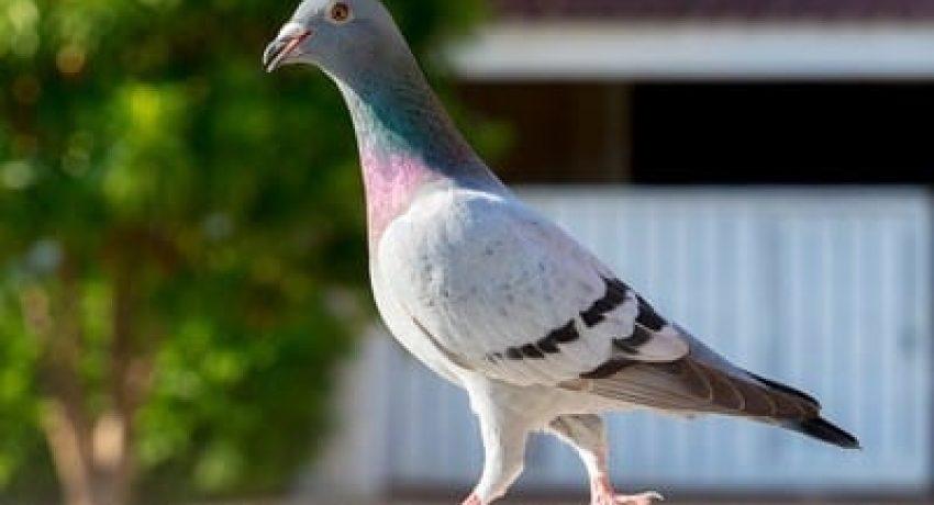 armando-pigeon