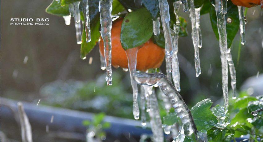 Πάγωσε η Αργολίδα με τη θερμοκρασία να φτάνει στους μείον πέντε βαθμούς κατά τόπους στον Αργολικό κάμπο, Τετάρτη 20 Ιανουαρίου 2021.θερμοκρασία που κατέγραψε ο αυτόματος σταθμός της ΕΜΥ στην Πυργέλα Άργους ήταν οι -2 με -3 βαθμούς Κελσίου όπου επικράτησαν για όλη τη νύχτα, ενώ αγρότες κάνουν λόγο πως κατά τόπους έφτασε και τους -5. Αποτέλεσμα των χαμηλών θερμοκρασιών ήταν να παγώσει το νερό από τις τεχνητές βροχές που χρησιμοποιούν οι καλλιεργητές για να προστατεύσουν τα δέντρα τους και να δημιουργηθούν οι γνωστοί κρύσταλλοι κάτω από τις πορτοκαλιές και τις μανταρινιές. Πρόκειται ουσιαστικά για τον πρώτο φετινό ισχυρό παγετό  στην παραγωγή και αναμένουν  οι αγρότες να δουν τι θα γίνει τις επόμενες ημέρες.