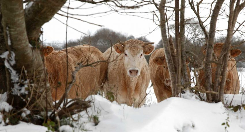 COW-1536x1024