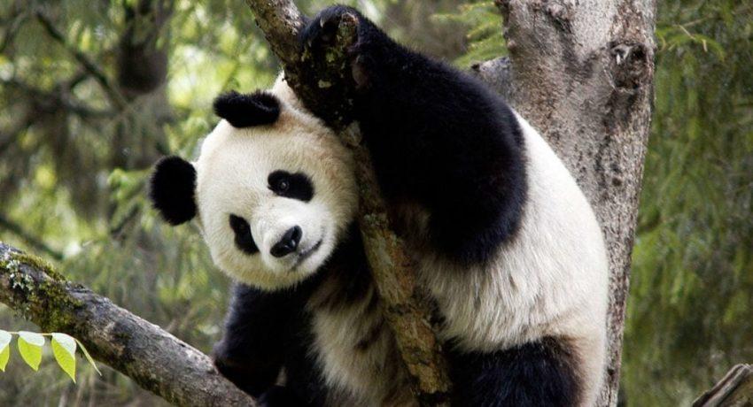 panda-1024x612