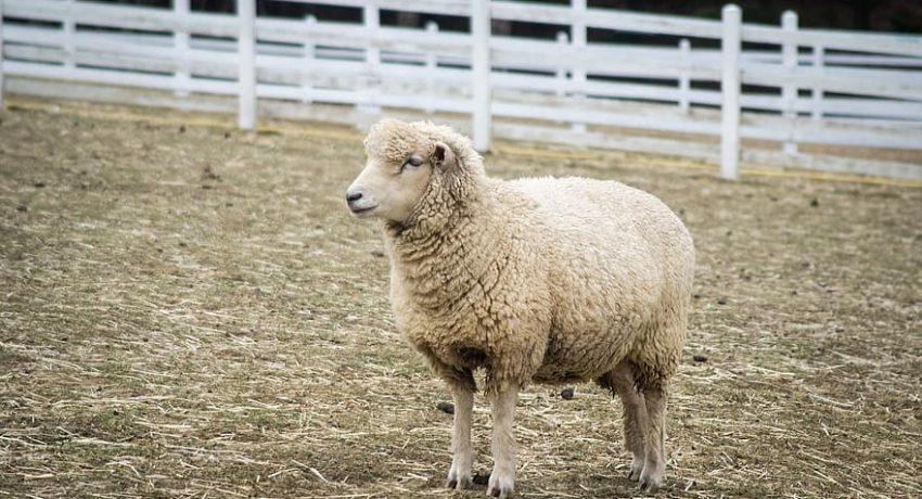 yang-sheep-animal-ranch-gangwon-do-the-farm