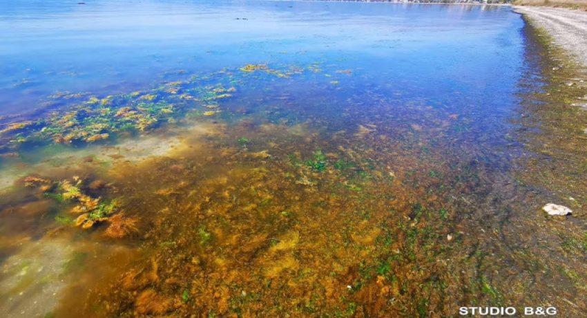 Κοκκίνισε η θάλασσα στην παραλία Ναυπλίου - Νέας Κίου στην Αργολίδα, Δευτέρα 5 Απριλίου 2021.Πρόκειται για ένα φαινόμενο που παρατηρείται συχνά στο Ναύπλιο, καθώς το κόκκινο χρώμα στα νερά των θαλασσών προκαλείται από το συσσωρευμένο πλαγκτόν, το γνωστό δηλαδή φαινόμενο της ερυθράς παλίρροιας. Ερυθρά παλίρροια είναι η κοινή ονομασία ενός φαινομένου γνωστού ως άνθιση φυτοπλαγκτού, δηλαδή μεγάλη συγκέντρωση υδρόβιων μικροοργανισμών, όταν αυτή προκαλείται από μερικά είδη δινομαστιγωτών και έχει κοκκινωπό έως καφετί χρώματος. Οι ερυθρές παλίρροιες είναι φαινόμενα ταχείας συσσώρευσης φυτοπλαγκτού, των αλμυρών, γλυκών και μικτών νερών, στη στήλη του νερού με αποτέλεσμα τον χρωματισμό των επιφανειακών νερών και συνήθως συμβαίνει σε παράκτιες περιοχές Όταν οι φυτοπλαγκτικοί αυτοί οργανισμοί παρουσιάζουν μεγάλες συγκεντρώσεις προκαλούν χρωματισμό των νερών τα οποία ποικίλουν χρωματικά από μωβ μέχρι σχεδόν ροζ.