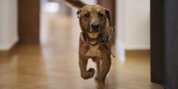 (Ξένη Δημοσίευση)  Φωτογραφία που δόθηκε σήμερα στη δημοσιότητα και εικονίζει τον  Πίνατ, το γλυκό και παιχνιδιάρικο σκυλάκι που γνώρισε ο Κυριάκος Μητσοτάκης κατά την πρόσφατη επίσκεψή του στο καταφύγιο της Φιλοζωικής Ένωσης Ηλιούπολης και υιοθετήθηκε από τον πρωθυπουργό. Σήμερα, ο Κυριάκος Μητσοτάκης ανέβασε αρκετές φωτογραφίες με τον σκύλο στο Μέγαρο Μαξίμου, γράφοντας το εξής: «Και κάπως έτσι μπήκε ο Peanut στη ζωή μας! Μας διάλεξε όταν πριν από δυο εβδομάδες επισκεφθήκαμε την Φιλοζωική Ένωση Ηλιούπολης με αφορμή την παγκόσμια ημέρα αδέσποτων ζώων. Ανοίξτε την αγκαλιά σας και σώστε ένα αδέσποτο!». «Η αλήθεια είναι ότι δεν τον διάλεξα εγώ, αλλά εκείνος», σημείωσε ο Κυριάκος Μητσοτάκης, αναφερόμενος στην πρώτη «γνωριμία» του με τον Πίνατ, «Με το που πάτησα το πόδι μου, ήρθε περιχαρής να με υποδεχθεί. Αυτό ήταν!» Ο Πίνατ έχει ήδη εξερευνήσει όλους τους χώρους του Μεγάρου Μαξίμου και προσαρμόζεται ταχύτατα στο νέο περιβάλλον του. Έχει ήδη κερδίσει την αγάπη όλων των εργαζόμενων ενώ ο ίδιος επιδεικνύει απλόχερα την τρυφερότητά του σε όλους. Κυριακή 18 Απριλίου 2021. ΑΠΕ-ΜΠΕ/ΓΡΑΦΕΙΟ ΤΥΠΟ