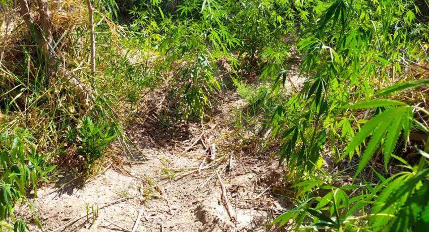 22-7-2021 Συνελήφθησαν δύο καλλιεργητές ναρκωτικών σε περιοχή της Αιτωλοακαρνανίας (1)